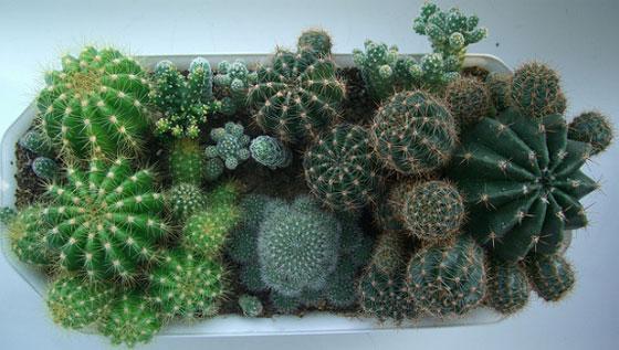 кактусы и уход за ними и названия их
